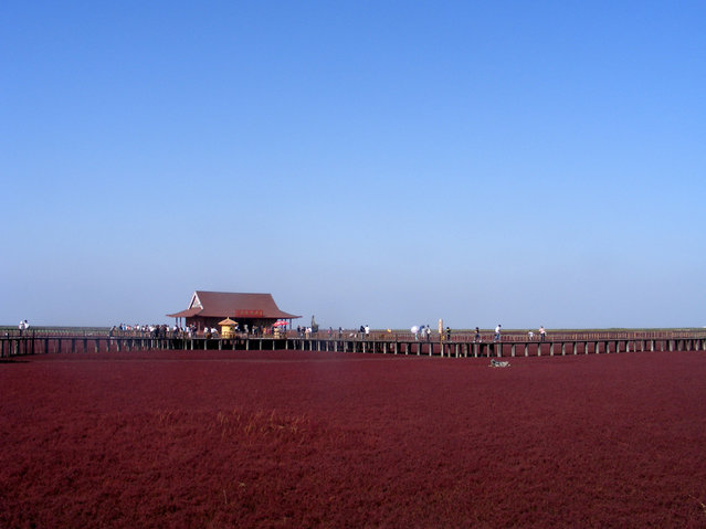 Panjin Red Beach, Liaoning, China. (Photo by Rincewind42)