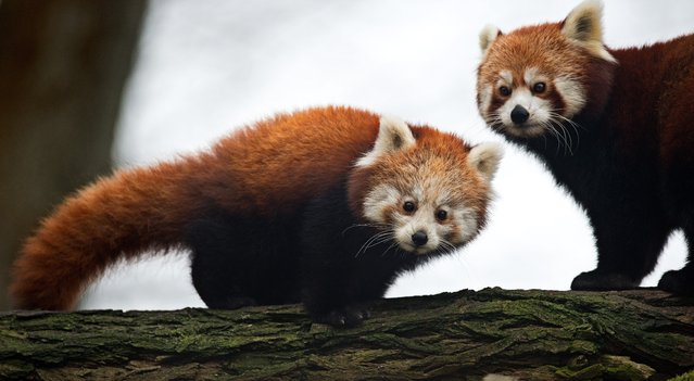 "Red Panda male cub ""Bambo"" (L) and his mother ""Lobke"" stroll through their enclosure at the zoo in Dresden, eastern Germany on December 5, 2014. The animal was born on July 12, 2014. (Photo by Arno Burgi/AFP Photo/DPA)"