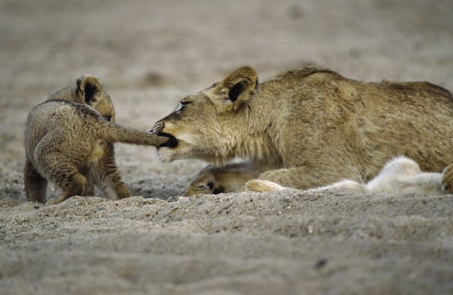 """A second year African lion cub playfully bites a first year cubs tail in Kruger National Park, South Africa"". (Photo by Art Wolfe/Art Wolfe Stock)"