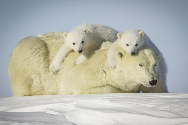 A Polar bear with its cubs. (Photo by David Jenkins/Caters News)