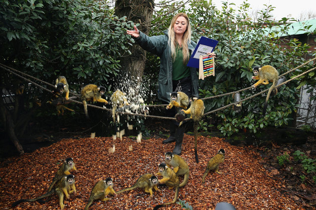 A Zoo Keeper feeds the Bolivian Squirrel Monkeys during the ZSL London Zoo's annual stocktake of animals on January 5, 2015 in London, England. (Photo by Dan Kitwood/Getty Images)