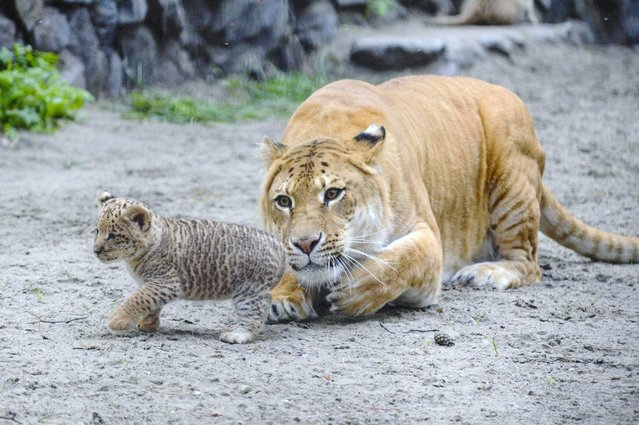 In this Tuesday, June 18, 2013 photo Zita, a liger – half-lioness, half-tiger – watches her one month old liliger cub in the Novosibirsk Zoo. The cub's father is a lion, Sam. (Photo by Ilnar Salakhiev/AP Photo)
