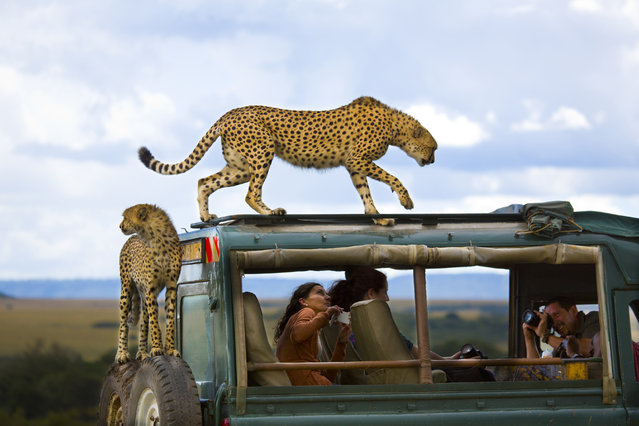 """Third Place Winner: """"Say cheese"""". Cheetahs jumped on the vehicle of tourists in Masai Mara national park, Kenya. (Photo and caption by Yanai Bonneh/National Geographic Traveler Photo Contest)"""