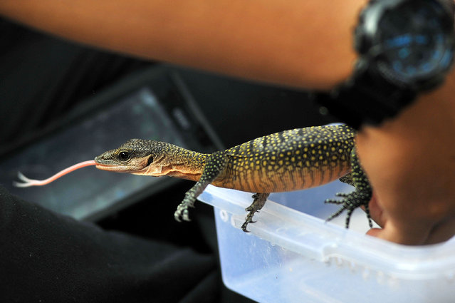 An animal lover shows the lizard during gathering with the community on January 25, 2015 in Jakarta, Indonesia. Animal lovers invite people to love and protect all reptiles of poaching in order to avoid extinction. (Photo by Jefta Images/Barcroft Media)
