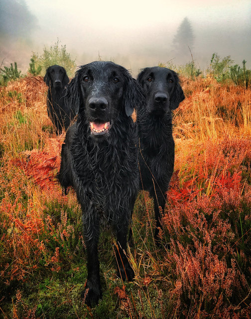 First place, Portrait. Three flat-coated retrievers – Crew, Darcie and Pagan – by Carol Durrant from the UK. (Photo by Carol Durrant/Dog Photographer of the Year 2018)