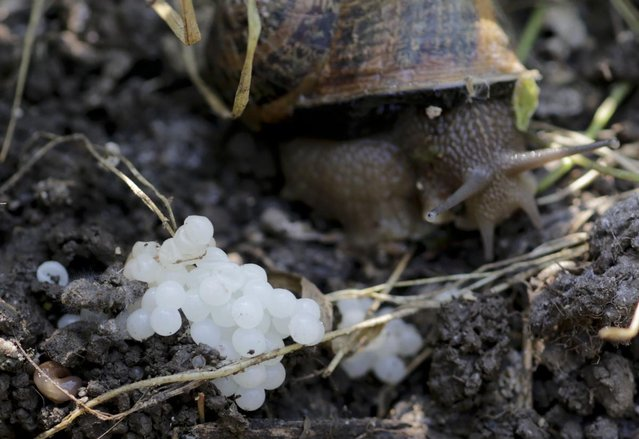 A snail (Helix Aspersa) sits next to her eggs in a farm in Vienna July 10, 2013. Andreas Gugumuck owns Vienna's largest snail farm, exporting snails, snail-caviar and snail-liver all over the world. The gourmet snails are processed using old traditional cooking techniques and some are sold locally to Austrian gourmet restaurants. (Photo by Leonhard Foeger/Reuters)