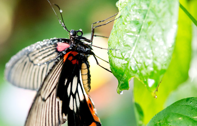 A Great Mormon (Papilio memnon) butterfly sits on a leaf in a greenhouse in the Botanical Gardens, Munich-Nymphenburg, Germany, February 4, 2015. The live butterflies can be viewed in a special exhibition that runs until March 22, 2015. (Photo by Sven Hoppe/EPA)