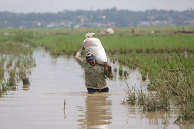 An Indonesian farmer carries a sack of rice  during a harvest at a paddy field in Kerawang, Indonesia, 11 March 2021. (Photo by Adi Weda/EPA/EFE)