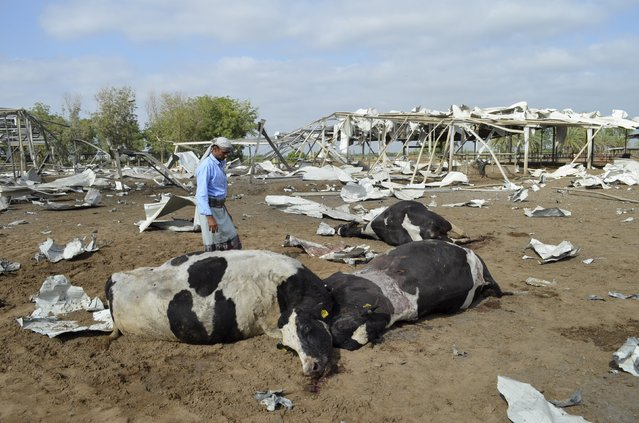 A man looks at cows killed by a Saudi-led air strike at a dairy farm in Bajil in Yemen's western province of Houdieda January 2, 2016. (Photo by Abduljabbar Zeyad/Reuters)