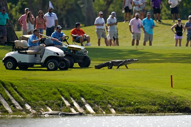 Tournament officials use golf carts to coax an alligator off of the 17th fairway and back into the water during the third round of the PGA Zurich Classic golf tournament at TPC Louisiana in Avondale, La., Saturday, April 24, 2021. (Photo by Gerald Herbert/AP Photo)