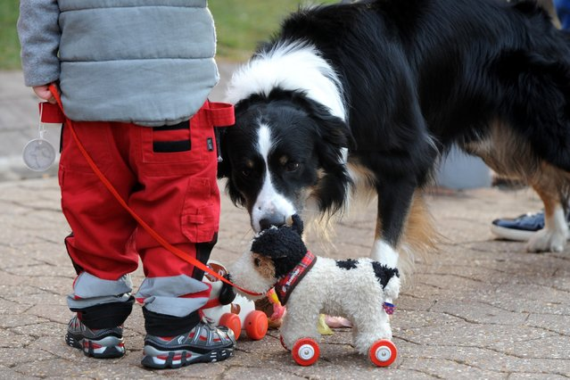 A Border Collie looks at a toy dog being pulled by a child during the second day of Crufts dog show at the National Exhibition Centre on Friday March 6, 2015 in Birmingham, England. First held in 1891, Crufts is said to be the largest show of its kind in the world, the annual four-day event, features thousands of dogs, with competitors travelling from countries across the globe to take part and vie for the coveted title of 'Best in Show'. (AP Photo/Rui Vieira)