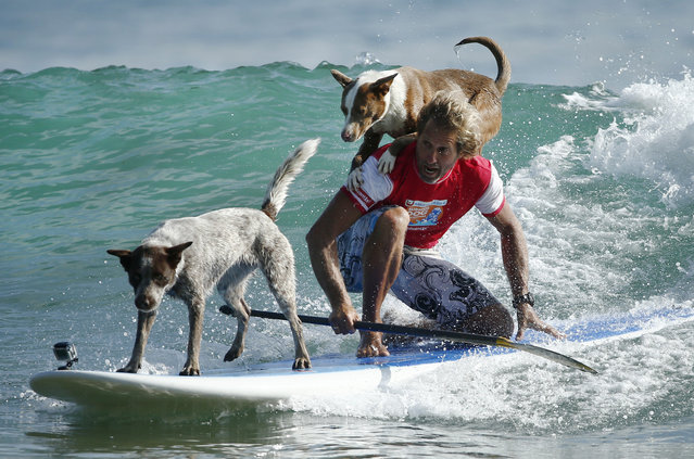 Australian dog trainer and former surfing champion Chris de Aboitiz rides a wave with his dogs Millie (L) and Rama off Sydney's Palm Beach, February 18, 2016. An Australian dog trainer and former surfing champion is using the discipline of surfing as a way of teaching owners to build healthy relationships with man's best friend. (Photo by Jason Reed/Reuters)