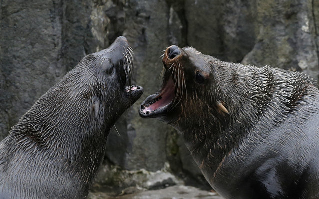 Seals play in their enclosure at Prague Zoo, Czech Republic, March 2, 2016. (Photo by David W. Cerny/Reuters)