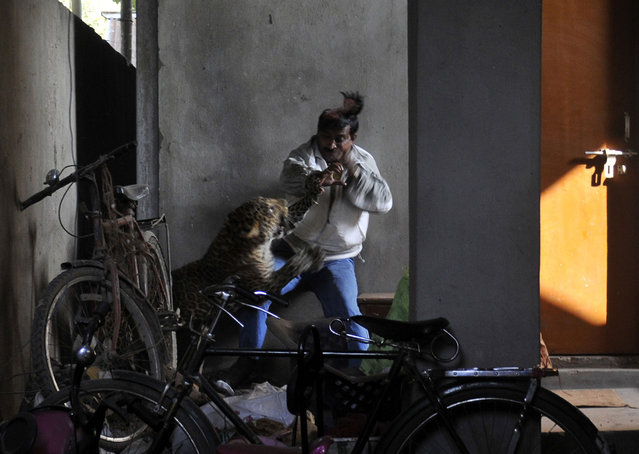 A leopard (Panthera pardus) attacks and wounds Pintu Dey, an Indian labourer in a residential neighbourhood of Silphukhuri area in Guwahati on January 7, 2012. (Photo by AFP Photo/STR)