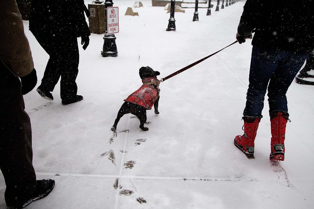 Nola, a French Bulldog, gets walked on fresh snow in downtown Hillsboro, Oregon, on February 6, 2014. (Photo by Benjamin Brink/The Oregonian)