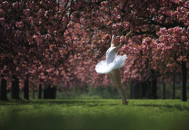 A dancer poses for her own photographer in front of pink cherry tree blossoms during a sunny spring morning at the Parc de Sceaux gardens near Paris, France, April 12, 2019. (Photo by Christian Hartmann/Reuters)