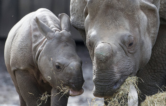 Qabid, a three-month old Indian rhinoceros, is seen next to his mother Karamat at the Planckendael Park in Mechelen, Belgium March 30, 2016. (Photo by Yves Herman/Reuters)