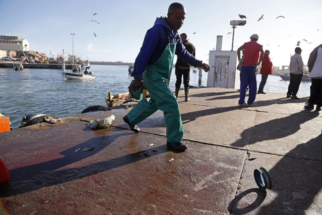 In this photo taken on Saturday, May 16, 2015, a small boat captain walks after his fishing line after his  Snoek fish got offloaded in Lambert's Bay, South Africa. (Photo by Schalk van Zuydam/AP Photo)