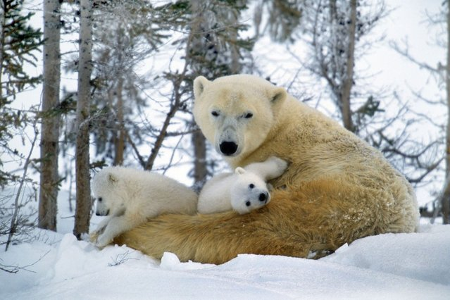 Snuggles in the snow from mum. (Photo by Ardea Wildlife Pets Environment/Caters News)