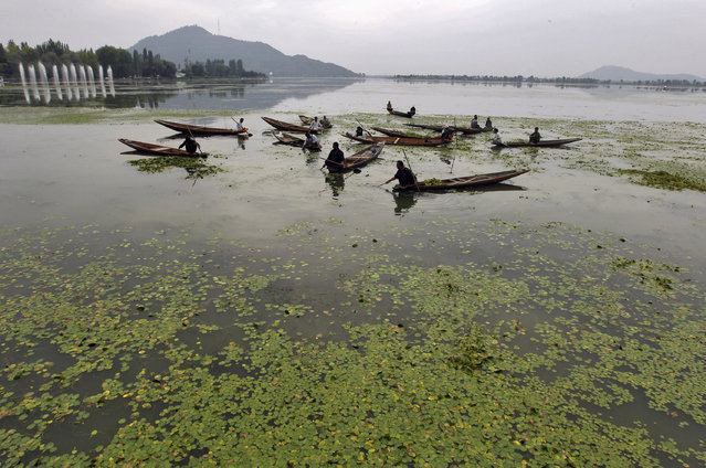 Kashmiri men in boats manually collect weeds from the polluted waters of Dal Lake, covered by aquatic plants in Srinagar September 8, 2012. (Photo by Fayaz Kabli/Reuters)