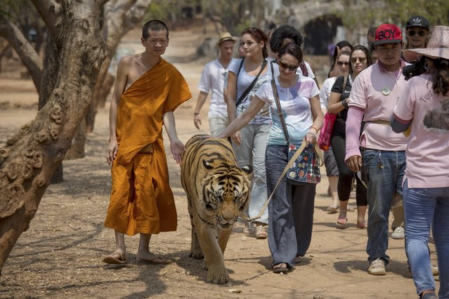 A monk walks along with a visitor who has paid to walk a tiger on a leash, at Tiger Temple in Kanchanaburi, Thailand, March 16, 2016. The 15 or so monks who live on the grounds have little to do with the tigers beyond occasionally posing with them for tourists. (Photo by Amanda Mustard/The New York Times)