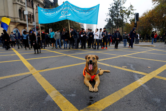 A dog lies on the ground as student protesters gather during a demonstration to demand changes in the education system in Santiago, Chile, May 5, 2016. (Photo by Ivan Alvarado/Reuters)