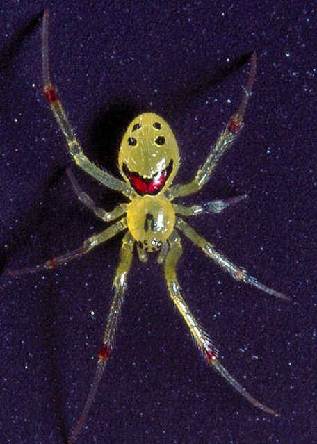 Smiley face spider. (Photo by Darlyne Murawsk/National Geographic Creative/Caters News)