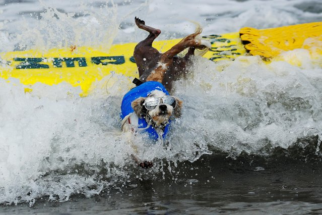"A small dog jumps off his surfboard while competing at the 14th annual Helen Woodward Animal Center ""Surf-A-Thon"" where more than 70 dogs competed in five different weight classes for ""Top Surf Dog 2019"" in Del Mar, California, U.S., September 8, 2019. (Photo by Mike Blake/Reuters)"