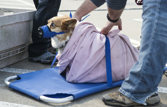 A dog named Denali is lifted onto a stretcher to be treated for a broken leg by Veterinary Emergency Team from Texas A&M as they set up in the Canton Junior High parking lot Sunday, April 30, 2017, in Canton, Texas. Severe storms including tornadoes swept through several small towns in East Texas, killing several people, and leaving a trail of overturned vehicles, mangled trees and damaged homes, authorities said Sunday. (Photo by Sarah A. Miller/Tyler Morning Telegraph)