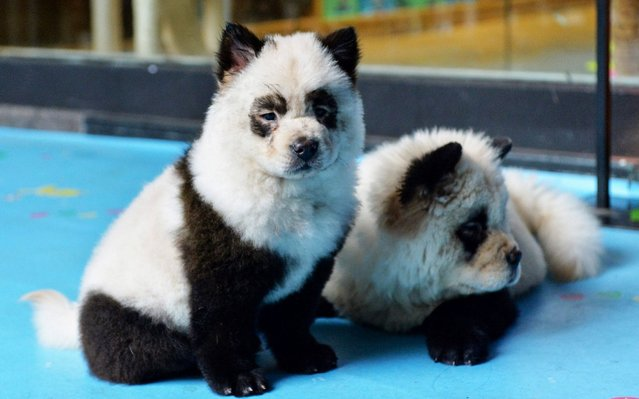 Dogs dyed black and white to mimic panda cubs are pictured at Cute Pet Games cafe in Chengdu in China's southwestern Sichuan province on October 23, 2019. A pet cafe in China where dogs are dyed black and white to look like panda cubs has triggered a heated online debate over the treatment of animals. (Photo by AFP Photo/China Stringer Network)