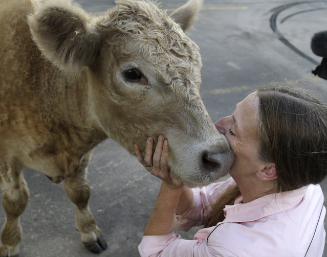 Kitty Martin, right, snuggles Hero after he was fitted with new prosthetic legs Wednesday, May 21, 2014, in Houston. Martin rescued the abandoned calf from a Virginia farm a year ago, brought him to Texas and got him permanent prosthetics to replace back hooves that had to be amputated because of frostbite. (Photo by Pat Sullivan/AP Photo)
