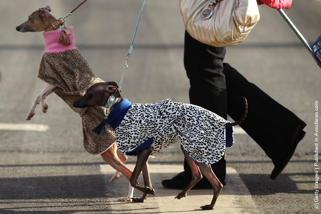 Two Italian Greyhounds arrive on Day one of Crufts at the Birmingham NEC Arena