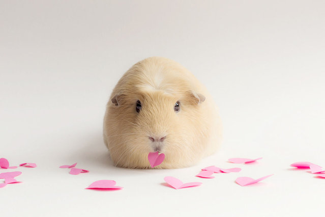BooBoo The Guinea Pig
