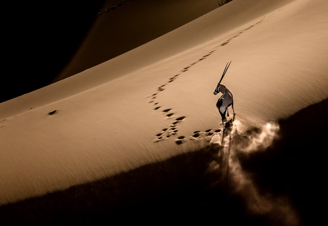 """""""Oryx at the Dune Top"""". In the afternoon, it was so hot at the bottom of the dune that the oryx ran to the dune top for coolness. When getting to the top , the oryx stopped and posed for me to capture a shot. Photo location: Sossusvlei, Namibia. (Photo and caption by Bo Fu/National Geographic Photo Contest)"""