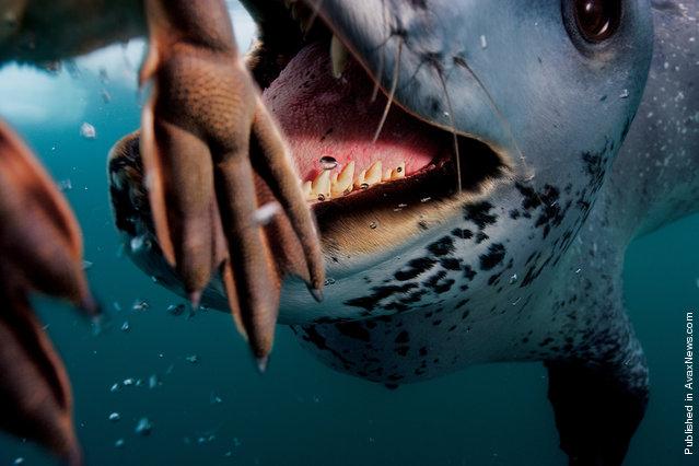 A leopard seal feeds Paul Nicklen a penguin