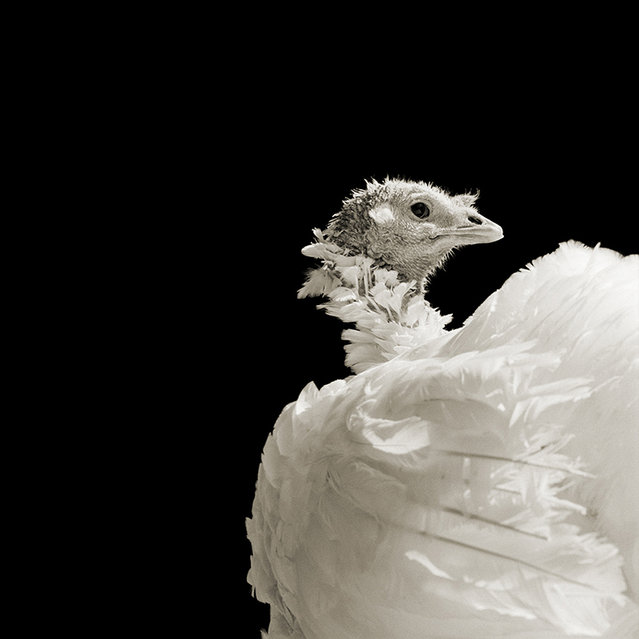 Ash, Domestic White Turkey, Age 8 I