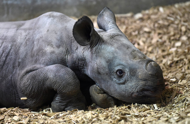 A recently born rare Eastern Black Rhino male calf is seen at Folly Farm Adventure Park and Zoo in Begelly, Wales, Britain on January 27, 2020. (Photo by Rebecca Naden/Reuters)