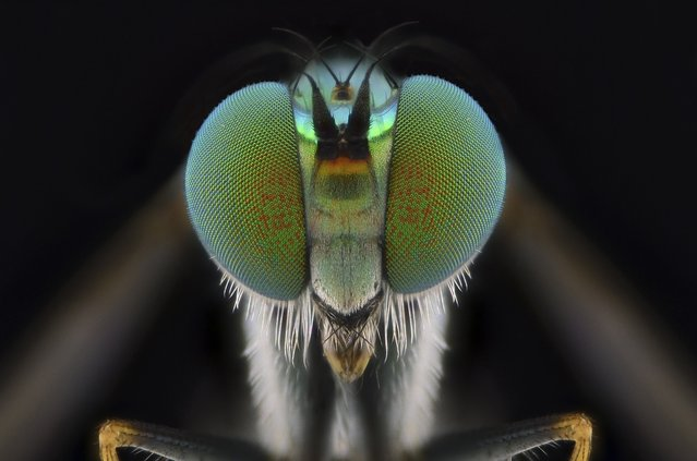A close-up shot of a green fly on August 2014, in Banten, Indonesia. Wildlife photographer takes incredible close-up images of tiny bugs. Yudy Sauw has captured close-up images of creepy crawlies – revealing their disturbing faces. The insects have an assortment bulging eyes and sharp pincers and look grotesque in the face-to-face shots. The miniature-models include a soldier fly, a red ant and a longhorn beetle. (Photo by Yudy Sauw/Barcroft Media)