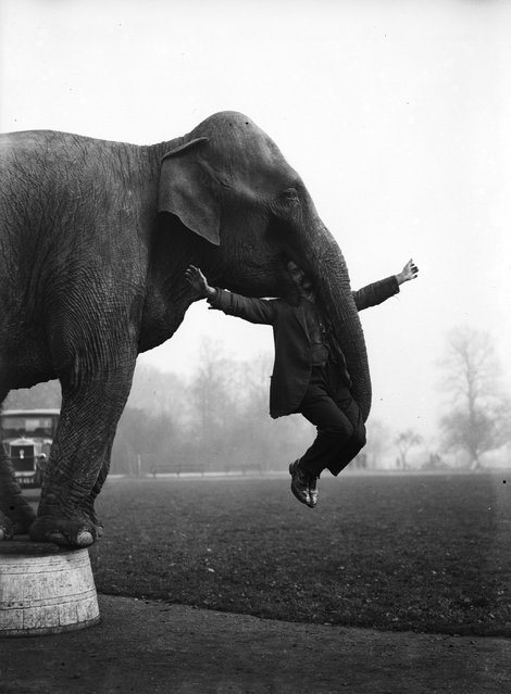 Dixie the elephant from Whipsnade Zoo performs part of her repertoire learnt with Bostock's Circus with her keeper George Braham. 8th February 1932.
