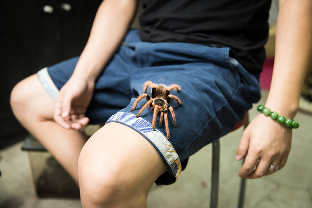 Zhang Bo, 36, with a Mexican blood tarantula (Aphonopelma chalcodes) in Beijing's Guanyuan pet market. The species is typically found in the deserts of Arizona in the US and parts of Mexico. Zhang began collecting spiders in 2007 and started selling them in 2014 through his shop in Beijing. (Photo by Sean Gallagher/The Guardian)