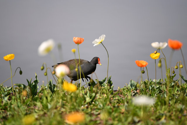 A dusky moorhen at the 2017 Floriade flower show in Canberra, Australia. Floriade is celebrating its 30th anniversary and will open from 16 September to 15 October. (Photo by Lukas Coch/AAP)