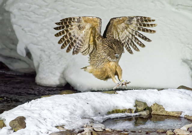 """Shortlisted: """"Out of the darkness"""" by Peter Burkill (Shiretoko Peninsular, Hokkaido, Japan). The first in a sequence of wild Blakiston's fish owl (Bubo blakistoni) – the largest, and one of the rarest, most endangered, living species of owl. In Hokkaido Japan, there are 20 breeding pairs. """"I photographed at night in mid-winter. This photo shows the owl plunging into an icy stream, searching for food: small fish corralled in a small pool within the stream"""". (Photo by Peter Burkill/2017 Royal Society of Biology Photographer of the Year)"""