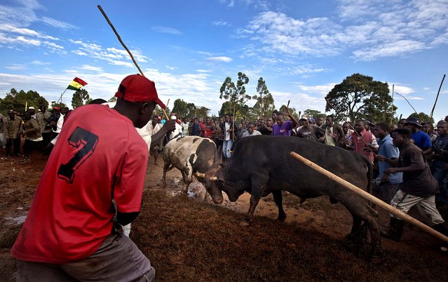 A crowd of spectators encircles two fighting bulls at a bullfight in Khayega, Kenya, November 3, 2012. The traditional bullfights go back generations and are a matter of pride and prestige for the bull-owners, taking place each weekend and featuring two highly-prized bulls from different villages fighting each other until one flees in defeat, after having been fed a secret herbal concoction during the preceding day which often includes marijuana, known locally as bhang. (Photo by Ben Curtis/Associated Press)