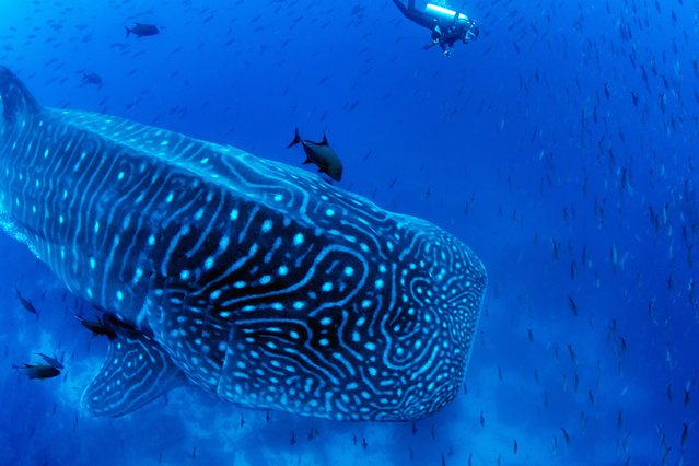 A procession of whale sharks pass by the rocky outcrop of lava and ash known as Darwin Arch, off Darwin Island to the north of the Galapagos Archipelago on July 2020. (Photo by Jonathan R. Green/The Guardian)