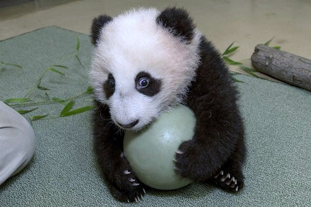 The San Diego Zoo's panda cub, Xiao Liwu, holds onto a plastic ball tightly. Panda keepers gave the cub the new toy to test his coordination and encourage him to play with new objects. (Photo by Ken Bohn/San Diego Zoo)