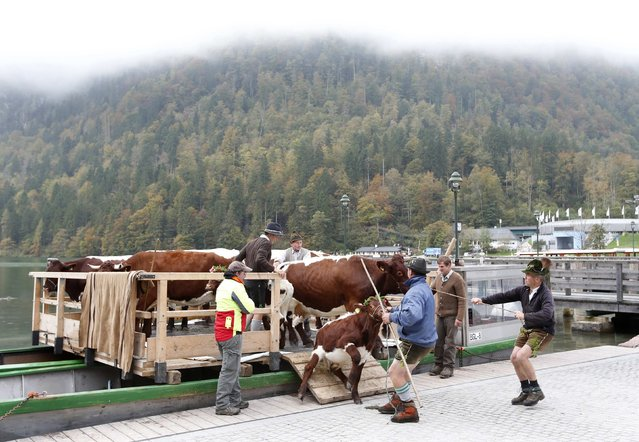 Bavarian farmers and their cows leave a boat after their transport over the picturesque Lake Koenigssee on October 6, 2014. (Photo by Michaela Rehle/Reuters)