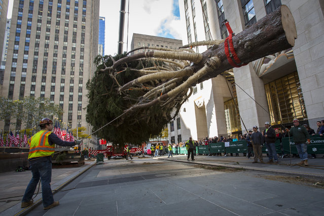 Workers hoist an 85-foot-tall Norway Spruce from Hemlock Township, Pennsylvania into position as the 2014 Rockefeller Center Christmas Tree in New York November 7, 2014. The 85-foot Norway Spruce was donated by Dan Sigafoos and Rachel Drosdick-Sigafoos, of Danville, Pa. The 82nd annual tree, decorated with 45,000 multi-colored LED lights is scheduled to be lit during ceremonies December 3, 2014. (Photo by Andrew Kelly/Reuters)