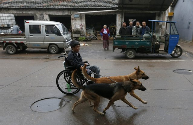 Fang Jianguo sits in a wheelchair as his dogs, Beier and Laer, pull it along a street in Longyou, Zhejiang province November 9, 2014. Fang, 47, was paralyzed from the waist down after an accident at work in 1987, following which, he developed muscle atrophy in his arms. Thirteen years ago, he adopted Beier and Laer and trained them to help pull his wheelchair to facilitate his mobility, according to local media. (Photo by William Hong/Reuters)