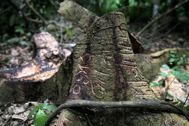 A tree trunk is carved with markings in an unreserved forest in the town of Igede in Nigeria's southwest state of Ekiti August 19, 2014. (Photo by Akintunde Akinleye/Reuters)