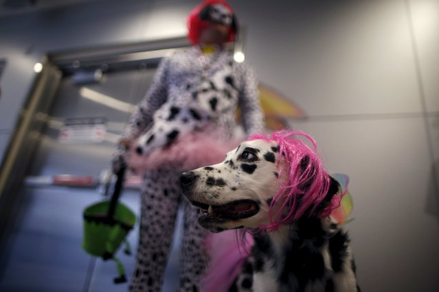 A therapy dalmatian wears a Halloween wig, as part of a program to de-stress passengers at the international boarding gate area of LAX airport in Los Angeles, California, United States, October 27, 2015. (Photo by Lucy Nicholson/Reuters)
